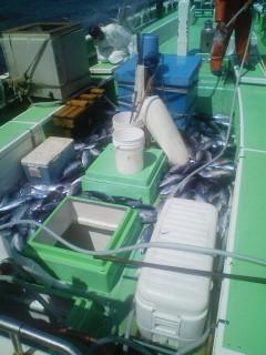 昨日の職漁では1流しでアっと言う間にカツオで足の踏み場無し!!